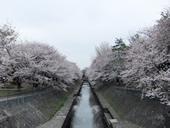 善福寺川緑地公園の桜が満開